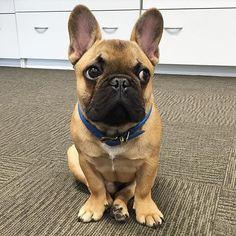Naughty French Bulldog Puppy