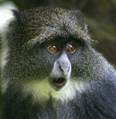 Blue (Syke's) Monkey, Mt Kilimanjaro NP
