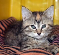 ADOPTED Intake: 6/22 Available: 6/28 NAME: Diamond  ANIMAL ID: 31970069 BREED: DSH SEX: Female  EST. AGE: 7 weeks  Est Weight: 2 lbs Health:  Temperament: Friendly ADDITIONAL INFO:  RESCUE PULL FEE: $35