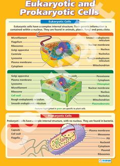Larger than in size - The Eukaryotic and Prokaryotic Cells Wall Chart is ideal for your science classroom. Suitable from GCSE to A-Level, it is colourful, concise and outlines the key concepts in this topic. A Level Biology, High School Biology, Biology Teacher, Cell Biology, Ap Biology, Science Biology, Teaching Biology, Middle School Science, Science Education