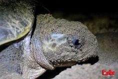 A mother of Olive Ridley turtle (Lepidochelys  olivacea)   DONATE NOW Your donation helps us protect sea turtles  http://goo.gl/hSQHIK  #seaturtles #bali #indonesia #instanusantara #idinstagram #baliseaturtle #iphonesia #nature #TagsForLikes #instagood #tweetgram #photooftheday #instamood #instagramhub #instadaily #beautiful #bestoftheday #webstagram #instagramers #wildlifecam