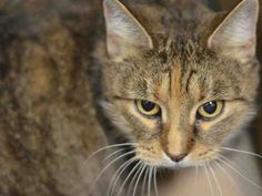 *Pulled by Anjellicle Cats Rescue* TO BE DESTROYED 2/11/15 *NYC* Brooklyn Center * The original owner passed away so a family member surrendered Gina. The family member does not know much about Gina, but does know she is an inside cat with low energy. after a couple of days in the care center she seems more calm and although she does not solicit attention *  My name is GINA. ID # is A1027211. Spayed female brn tabby dom sh mix. I am about 13.  I came in on 02/05/2015 fr NY 11235, OWNER DIED.