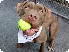 New York, NY - Pit Bull Terrier Mix. Meet COCO, a dog for adoption. http://www.adoptapet.com/pet/11248013-new-york-new-york-pit-bull-terrier-mix