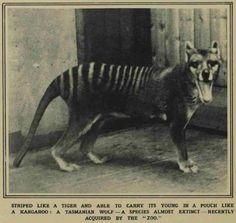 Thylacine Dreams : Photo