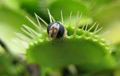 Facts about Venus Fly Traps Mechanisms Bog Plants, Nature Plants, Venus Flytrap, Weird Plants, Vaporwave Art, Pitcher Plant, Fly Traps, Carnivorous Plants, Aquatic Plants