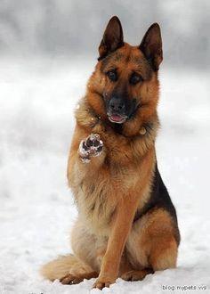 <3 German Shepherd