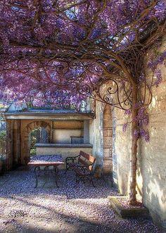 #glyzinie #blauregen #wisteria