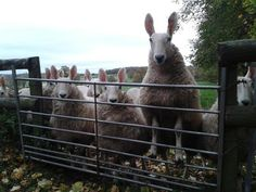 This cheeky young lady (Border Leicesters) was submitted by @katiesummerfie2