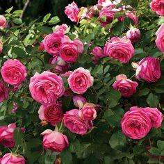 Rose Jackson, Climbing Roses, Pretty In Pink, Roots, Bloom, Backyard Landscaping, Flowers, Plants, Backyard Landscape Design
