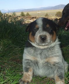 Australian cattle dog puppy! I can alreaady smell the puppy breath!