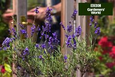 Monty shows how to cut back lavender after flowering, to keep it compact and stop it getting leggy, in this short video guide on gardenersworld.com.