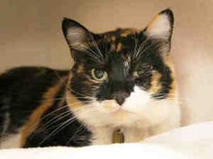 MADAME is an adoptable Domestic Short Hair Cat in Denver, CO. My name is Madame! I am quiet a pretty gal! People say I am a little shy at first but warm up quickly! I would do bestin a quiet house hol...