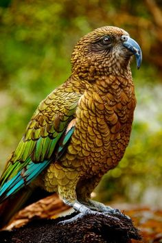 New Zealand Kea ~ By Ed Janwattana. This beautiful parrot is native to New Zealand, where it is listed as a Vulnerable species, threatened by predation on chicks, conflicts with humans and habitat loss. Kinds Of Birds, All Birds, Birds Of Prey, Love Birds, Pretty Birds, Beautiful Birds, Animals Beautiful, Cute Animals, Beautiful Pictures