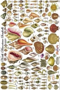 North American Seashells, a vintage poster depicting 140 types of shells Seashell Art, Seashell Crafts, Beach Crafts, Seashell Ornaments, Starfish, Seashell Identification, Types Of Shells, History Images, Shell Beach