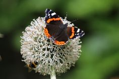 by Butterfly Conservation Trust British butterflies are probably the best studied insects in the world, thanks to tens of thousands of members of the public who submit their butterfly sightings to the UK charity Butterfly Conservation.