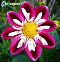 Nadir Kırmızı ve Beyaz Nokta Dahlia Tohumları Güzel Yıllık Çiçekler Tohumları DIY Ev Bahçe için 50 ADET/PAKET Dalya