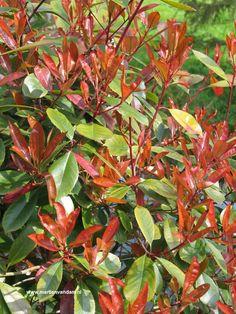 Photina fraseri 'Red Robin' = glansmispel. Een wintergroene stuik die rood uitloopt, bloeit in mei-juni met witte bloemtuilen. Kan tot 3 m. hoog worden kan op alle grondsoorten.