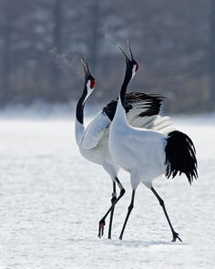 Japanese Red-Crowned Cranes by Wong Loong Tat