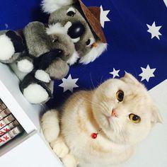 ぬいぐるみホップ😆  Which one is the stuffed toy? #cat #adorable #cute #fluffy #fluffycat #scottish #scottishfold #scottishfoldcat #catlover #scottishfoldcatsofinstagram #foldedears #foldedearscat #meow #awesome #instacat #japan #猫 #スコティッシュフォールド #垂れ耳 #にゃんすたぐらむ #にゃんすたグラム #ふわもこ部 #かわいい #短足 #愛猫 #ぬいぐるみ #みんねこ