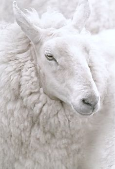 I have never seen a sheep this white. But it looks good and maybe it just never went outside to play.