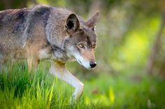 Crouching red wolf.