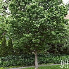 Native to central and northeastern North America, hackberry is one of the toughest and most adaptable deciduous trees in the country.