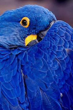 ovadiaandsons:  parrot. [(?) verrry pretty blue]