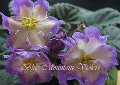 "African Violet Plant ""Hawaiian Pearl"""
