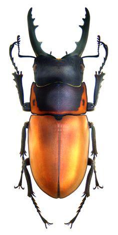 Prosopocoilus tragulus assimilis