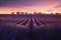 lavender | Tumblr