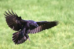 raven - Google Search