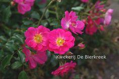 Rosa 'Kordatura' (NEON) De heesterachtige struik lijkt op zijn top wel op te lichten! Mooie en fijne nuances van roze, dat zich prima laat combineren met grijstinten en grasachtigen. Weinig stekels, zacht geurend. Fijne bloem voor bijen en andere bestuivers. Kerngezond! Deze plant is goed winterhard