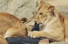 Lions And Tigers And Bears And -- Jeans? -- Oh My!  ... see more at PetsLady.com ... The FUN site for Animal Lovers