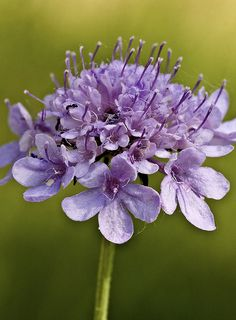 Scabiosa Columbaria All Flowers, Flowers Nature, Amazing Flowers, Beautiful Flowers, Scabiosa Columbaria, Astrantia, Outside Plants, Blue Garden, All Things Purple