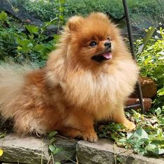 Pom Dog, Pomeranians, Yorkshire Terrier, Teacup, Animals And Pets, Dogs And Puppies, Cute, Yorkshire Terriers, Pets