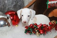 a white doxie!!! Although cute, very dangerous to breed. They can be blind deaf or both.  They have be born with tiny eyes or NO eyes.