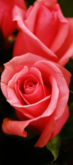 Rose - First Love Photography - by Bruce Bley