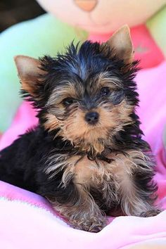 Yorkshire Terriers - Yorkie Puppies - Breeder Information - Training - San Diego #yorkshireterrier