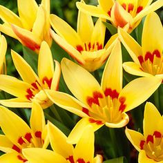 Tulip Corona