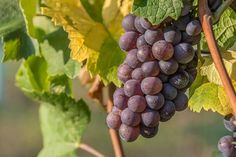 #hungary#travel #autumn #ikozosseg #mik #instadaily #photooftheday #rural #nature #magyarorszag #balatonakali #fenyehegy #wineyard #grapes #szürkebarát #harvest #balatonfelvidék