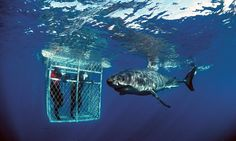 Shark Cage Diving South Africa | south africa - shark cage diving - sharks - best water sports