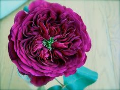 purple Garden Rose  similar to the bloom of a peony