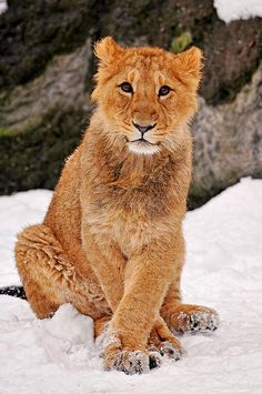 ~~Posing in the snow ~ lion cub by Tambako the Jaguar~~