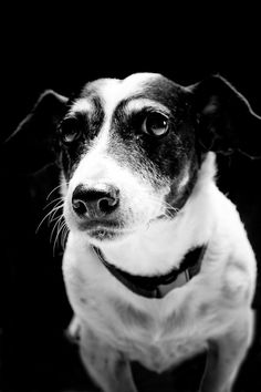 Love her work! jack russell in black & white by susansabophotography on Etsy, $18.00