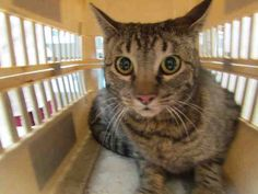 PRINCESS - ID#A142825  My name is PRINCESS.  I am a female, gray tabby Domestic Shorthair.  The shelter thinks I am about 2 years old.  I have been at the shelter since May 25, 2013. Oklahoma City Animal Shelter at (405) 297-3100