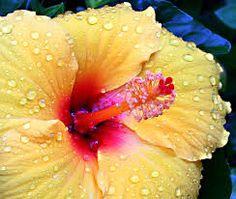 beautiful hibiscus flowers - Google-Suche