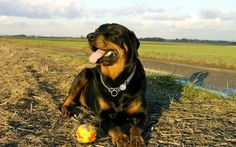 Rotweilers Images Rottweiler HD Wallpaper And Background Photos Wallpapers