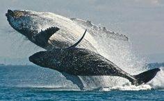 Humpbacks Breaching                                                                                                                                                                                 Mais