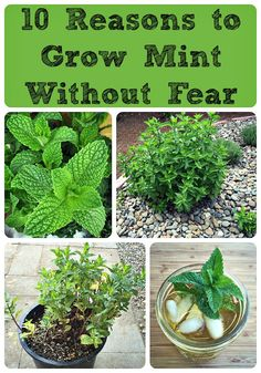 If you don't want your mint to take over your garden, grow it in a container. Mint Garden, Dream Garden, Growing Herbs, Growing Mint, Planting Flowers, Garden Tips, Garden Projects, Home And Garden, Garden Ideas