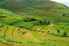 Ricefield in Sapa, Vietnam